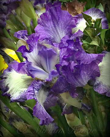 Iris Dream in Blue