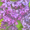 Spring Fantasy - Lilac Purple - variation