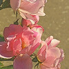 Fifty Shades Of Pink - Roses On A Summer Day