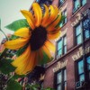Sunflower Love - New Life in Old New York