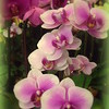 Purple and Pink Orchids - Springtime in New York City