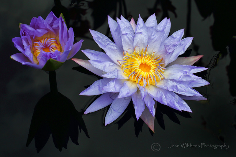 Shadow of a Waterlily