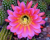 Flying Saucer Cactus Flower