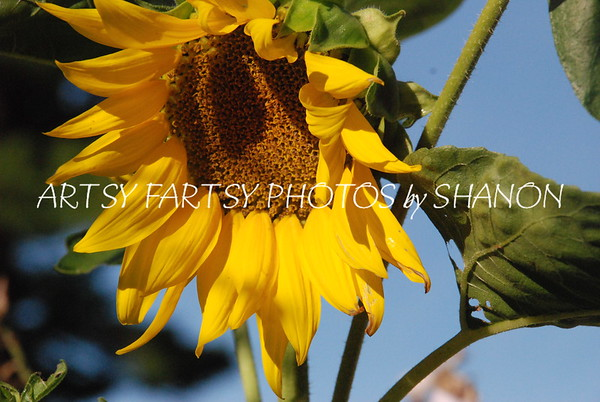 sunflower passing