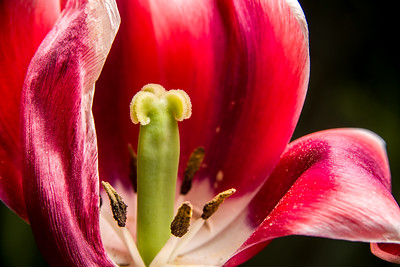 Tulip Pistil in profile