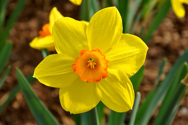 Daffodil the Flower of Rebirth