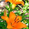 Orange Asian Lily