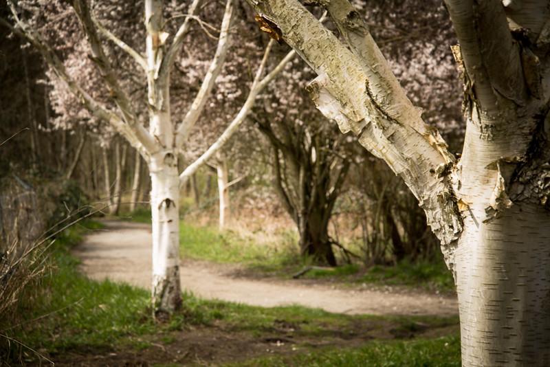 Birches Standing in Spring