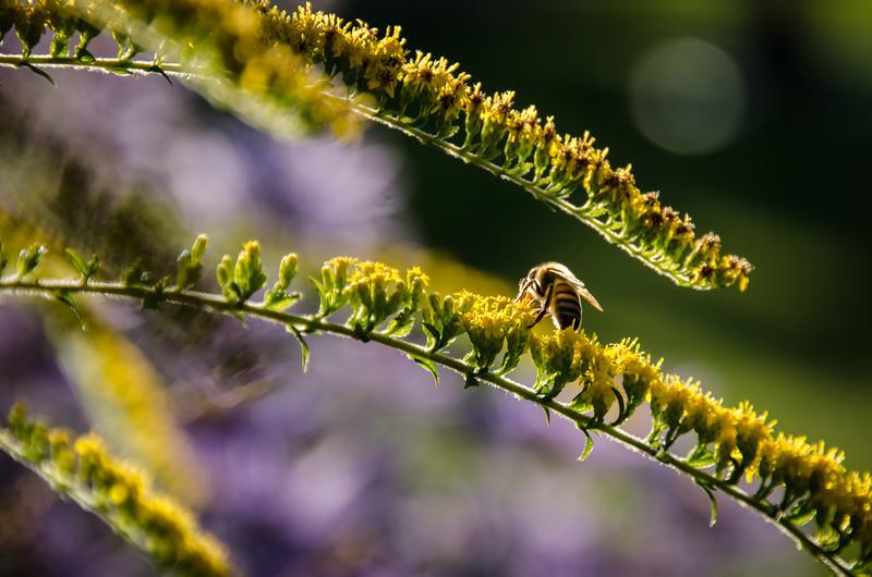 A Busy Bee in Edmonds Sunshine