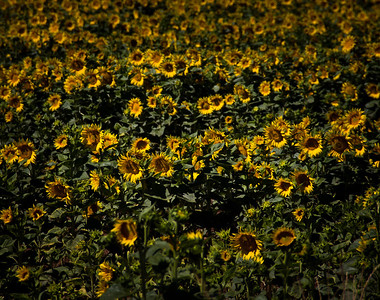 Sunflowers 007-2