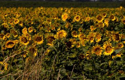 Sunflowers 002