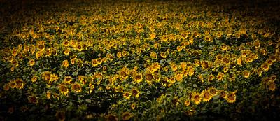 Sunflowers 009
