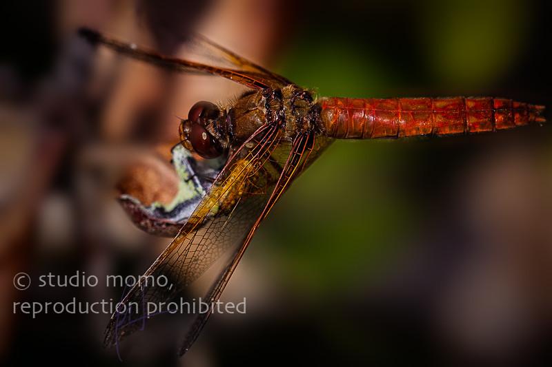 dragonfly (Orthemis spp.), taken 8/9/2007, UBC Botanical Garden