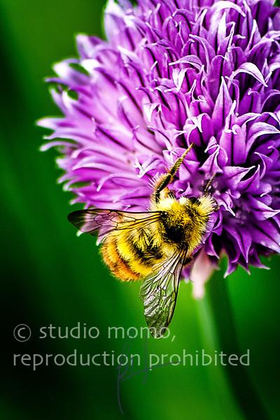 honeybee i