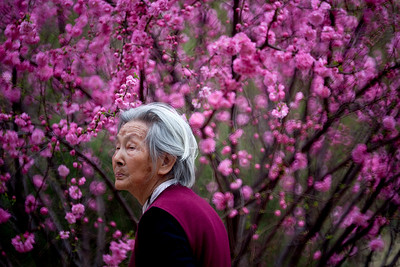 Cherry Blossom in Beijing (人面桃花)