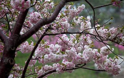 Cherry blossom in Beijing