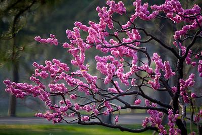 Beijing Spring Flowers (北京春花)