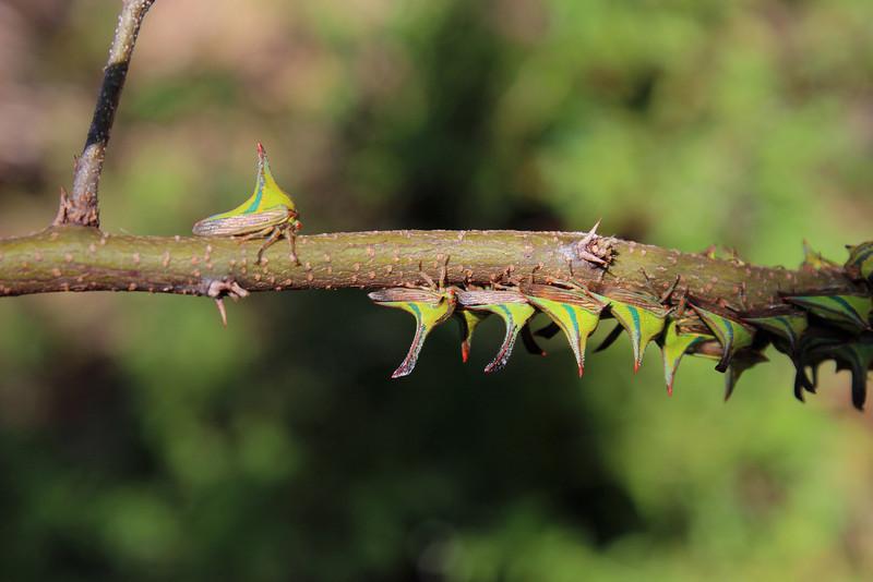 Thorn Bugs