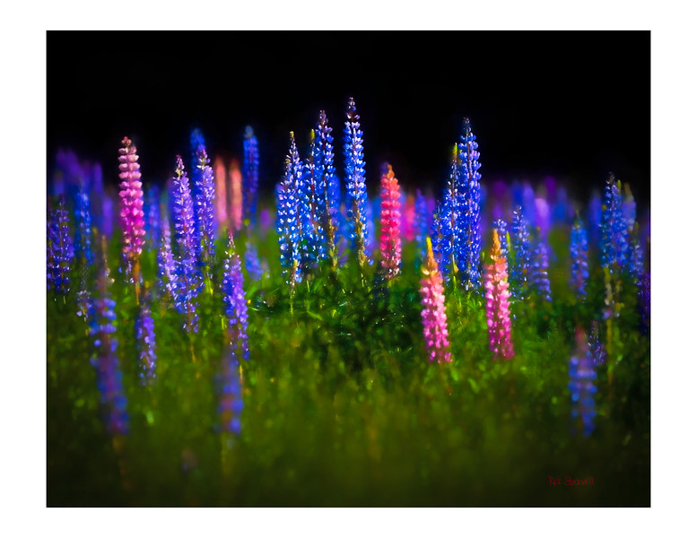 Lupins #2