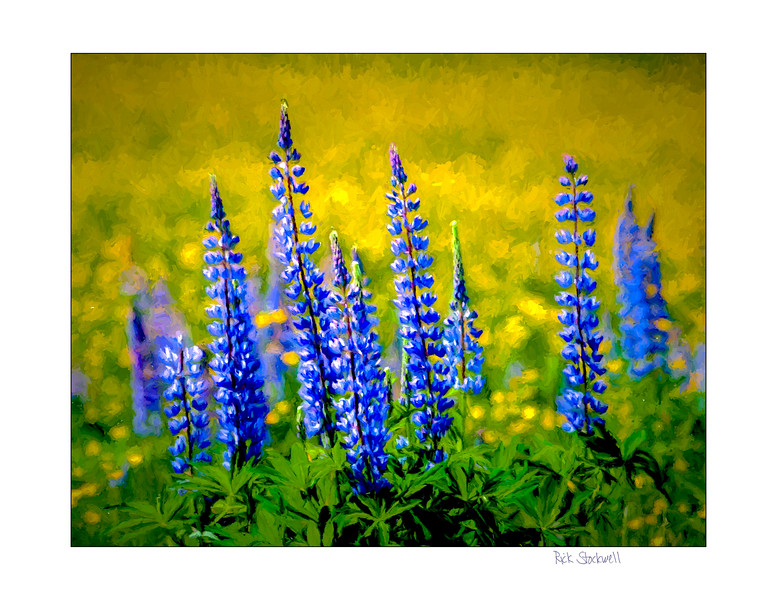 Lupins #3