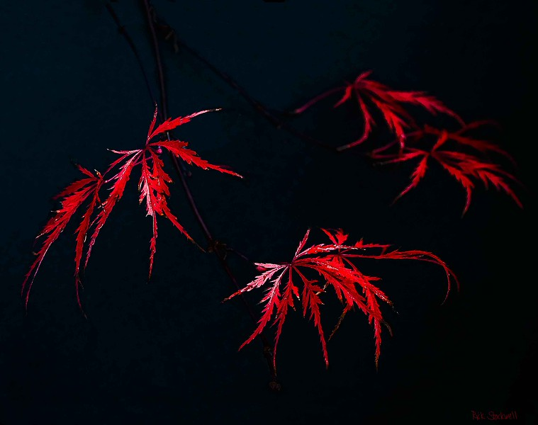 Thread leaf Japanese Maple on black