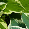 Hosta Leaves, Villa Monastero