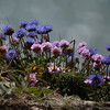 Thrift and Scabious