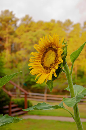 Sunflower-HDR