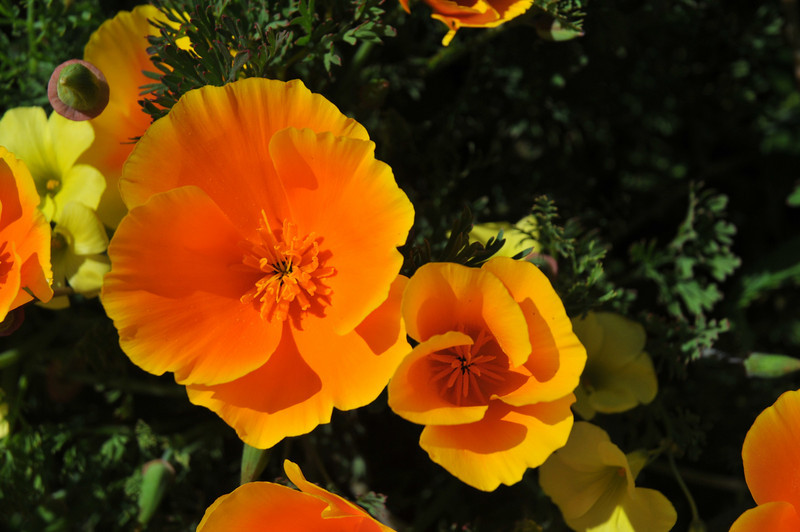 California Poppies - Our State Flower
