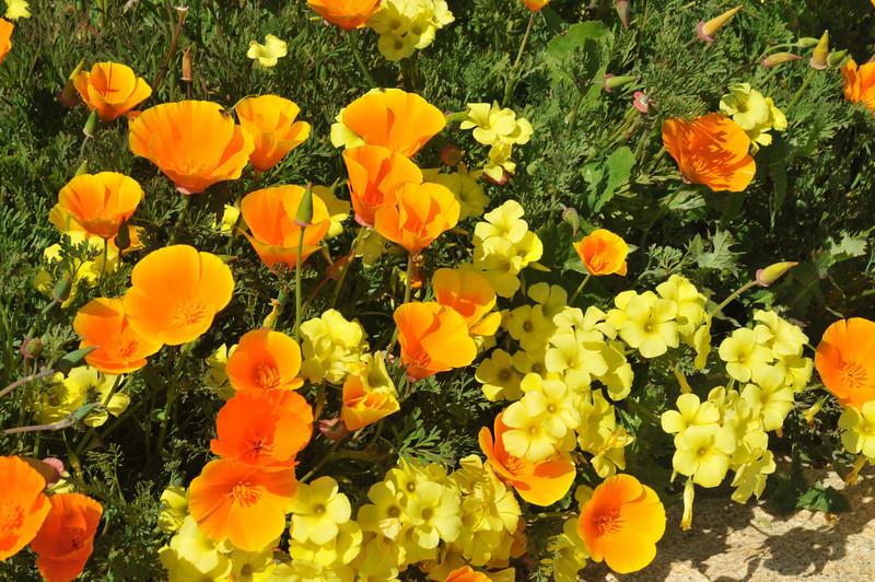 California Wild Poppies and wildflowers