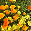California Wild Poppies and wildflowers