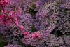 Pink Dogwood and Lavender, Golden Gate Park, San Francisco CA
