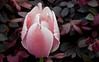 Wet Tulip and Razzleberri Plant, Piedmont CA