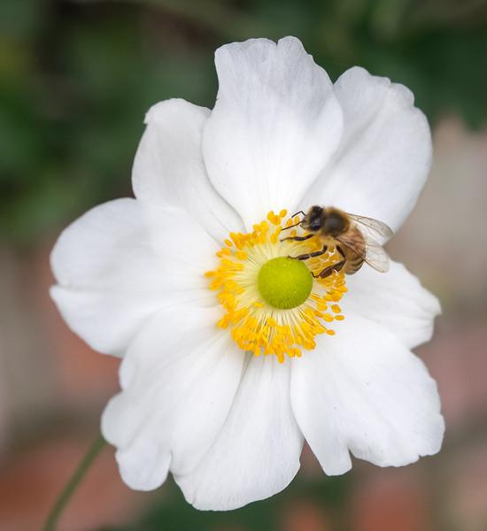 Bee on White Flower, Piedmont CA