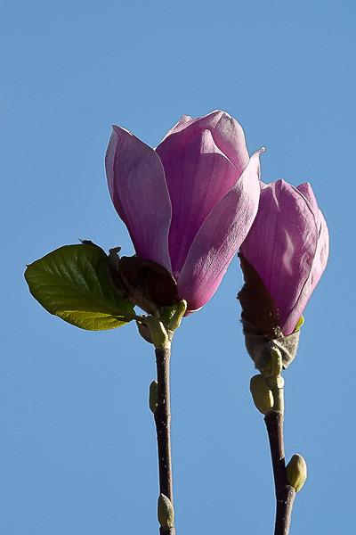 Two Tulip Magnolias, Piedmont CA