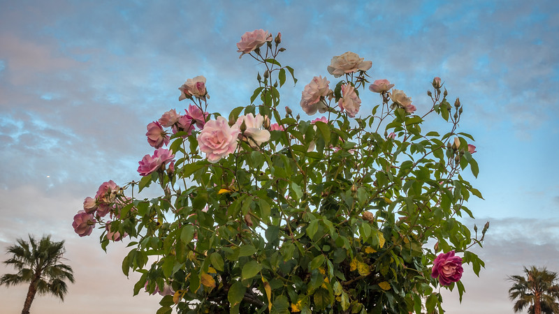 Pink Roses, Palm Trees, and Pre-Sunset Sky