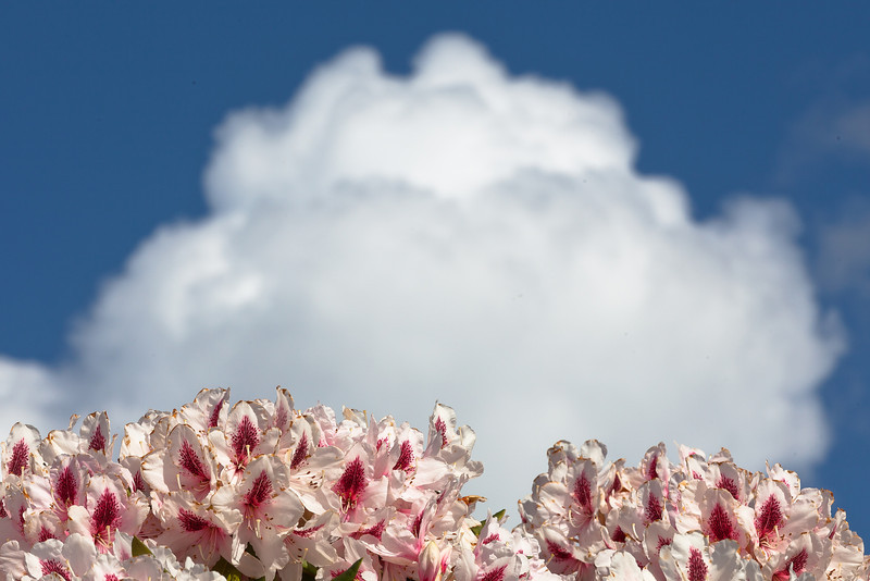 Rhododendron Flowers and Cloud, Piedmont CA