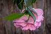 Pink Camellia in front of Redwood Tree - Bear Park, Piedmont CA