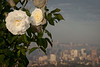 Camellia Flowers with Downtown Oakland and San Francisco in Background, Oakland CA