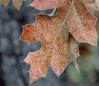 Fall Oak Leaves, Oakland CA