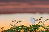 Tulip Magnolia and Sunset-Colored Sky