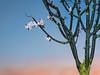 Plum Blossoms at Dawn, Oakland CA