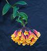 Candy-Corn Flower and VIne, UC Berkeley Botanical Garden
