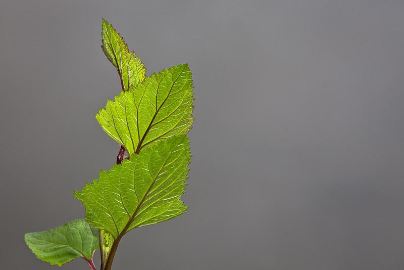 Backlit Spring Leaves, Lake Temescal, Oakland CA