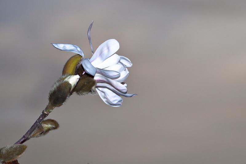 Tulip Magnolia, Piedmont CA