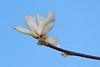 January Tulip Magnolia, Piedmont CA