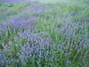 Field of Purple Wildflowers