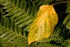 Fall Leaf on Fern, PIedmont CA