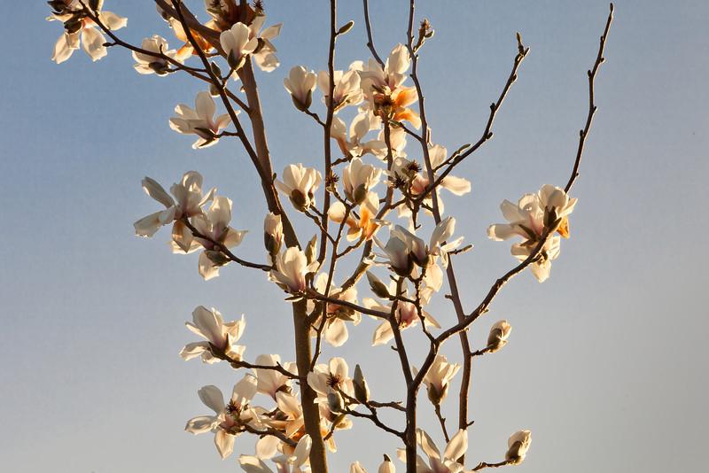 Tulip Magnolias in Japanese Style, Piedmont CA