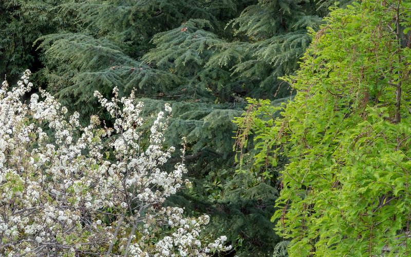 Spring Combination - Blossoming Fruit Tree, Dawn Redwood, and Pine Tree